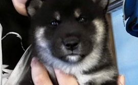 Allevamento-vendita-cuccioli-shibainu-shiba-sciba-italia