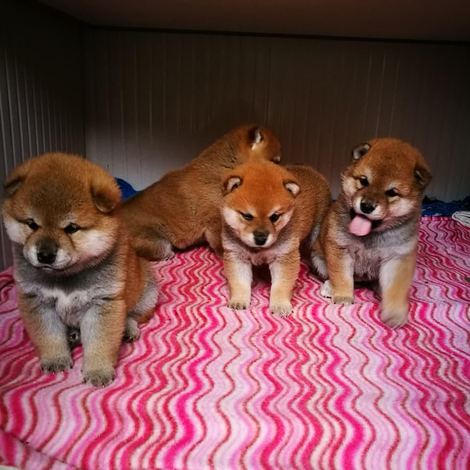 Vendita-cuccioli-di-cane-razza-shibainu-shiba-sciba-Parma-Varese-Treviso-Aosta-italia