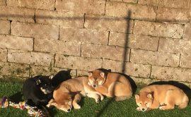 Vendita-cani-cuccioli-shibainu-shiba-sciba-disponibili