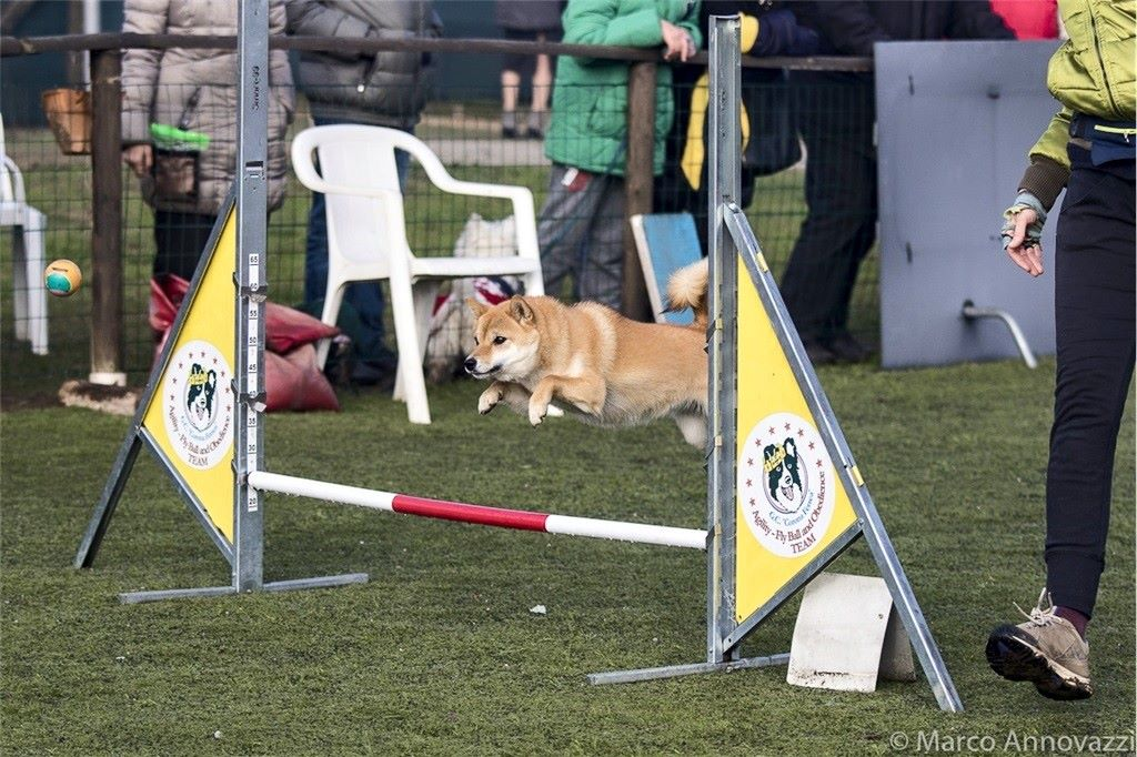 You are currently viewing SAKE' DI ALLEVAMENTO KUMA – Shiba Inu di Allevamento Kuma in Agility Dog