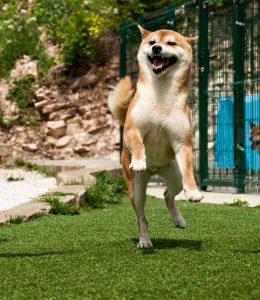 Presso il nostro allevamento e vendita cuccioli shiba inu a breve saranno presenti grandi novità
