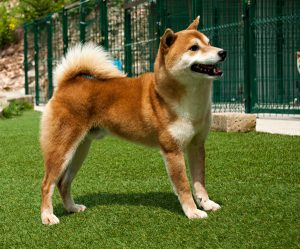 Cenni strorici sulla razza di cani shiba Inu